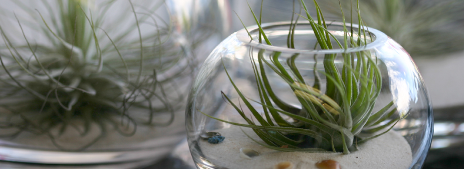 tillandsia air plant in fishbowl