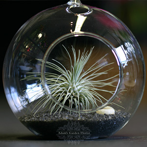 tillandsia-terrarium