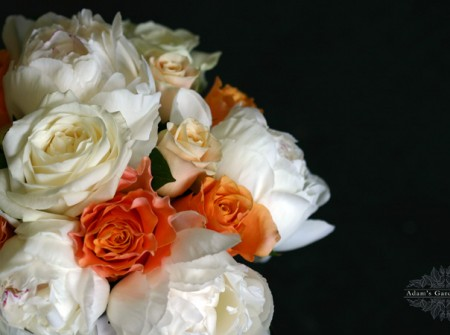 close up ivory and apricot roses