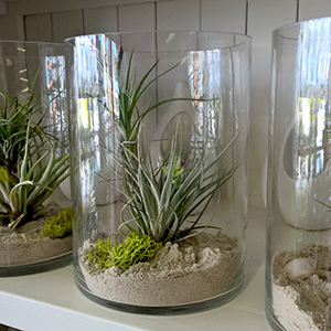 air-plant tillandsia gift
