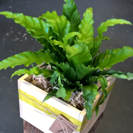 birds nest fern living plant gold coast parkwood