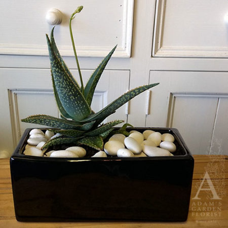 aloe plant gift gold coast