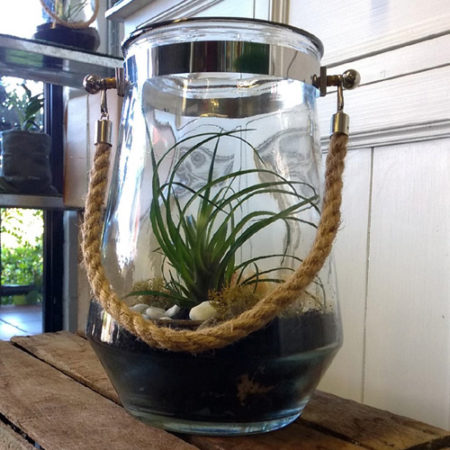 hardy living tillandsia plant in hurricane vase delivery gold coast