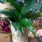 Indoor plant peace lily Gold Coast