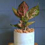 Gold Coast buy indoor plant gift