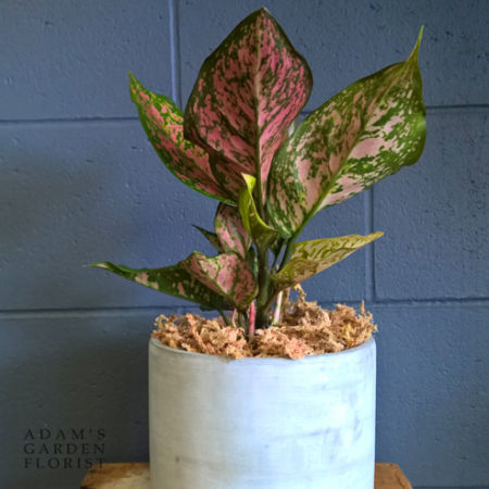 Gold Coast buy indoor plant gift