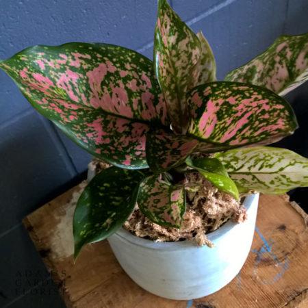 buy plant gift delivered Gold Coast