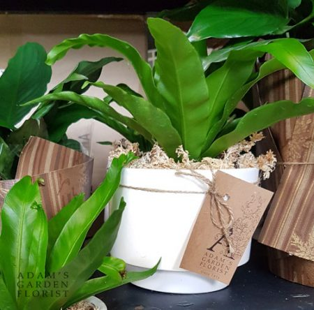 bird-nest fern indoor plant gift. Gold Coast delivery