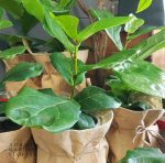 fiddle-leaf-fig in jute pouch - Gold Coast delivery