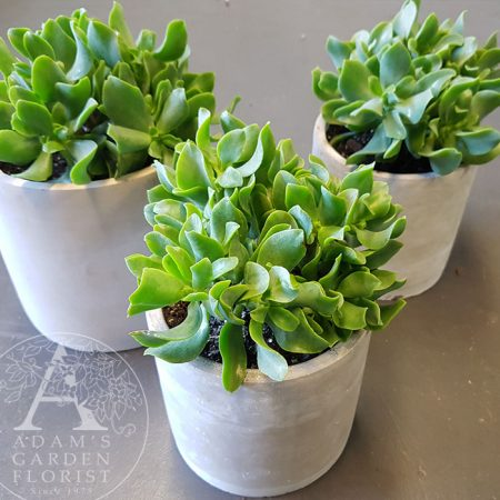 concrete pot succulent gift delivery Gold Coast