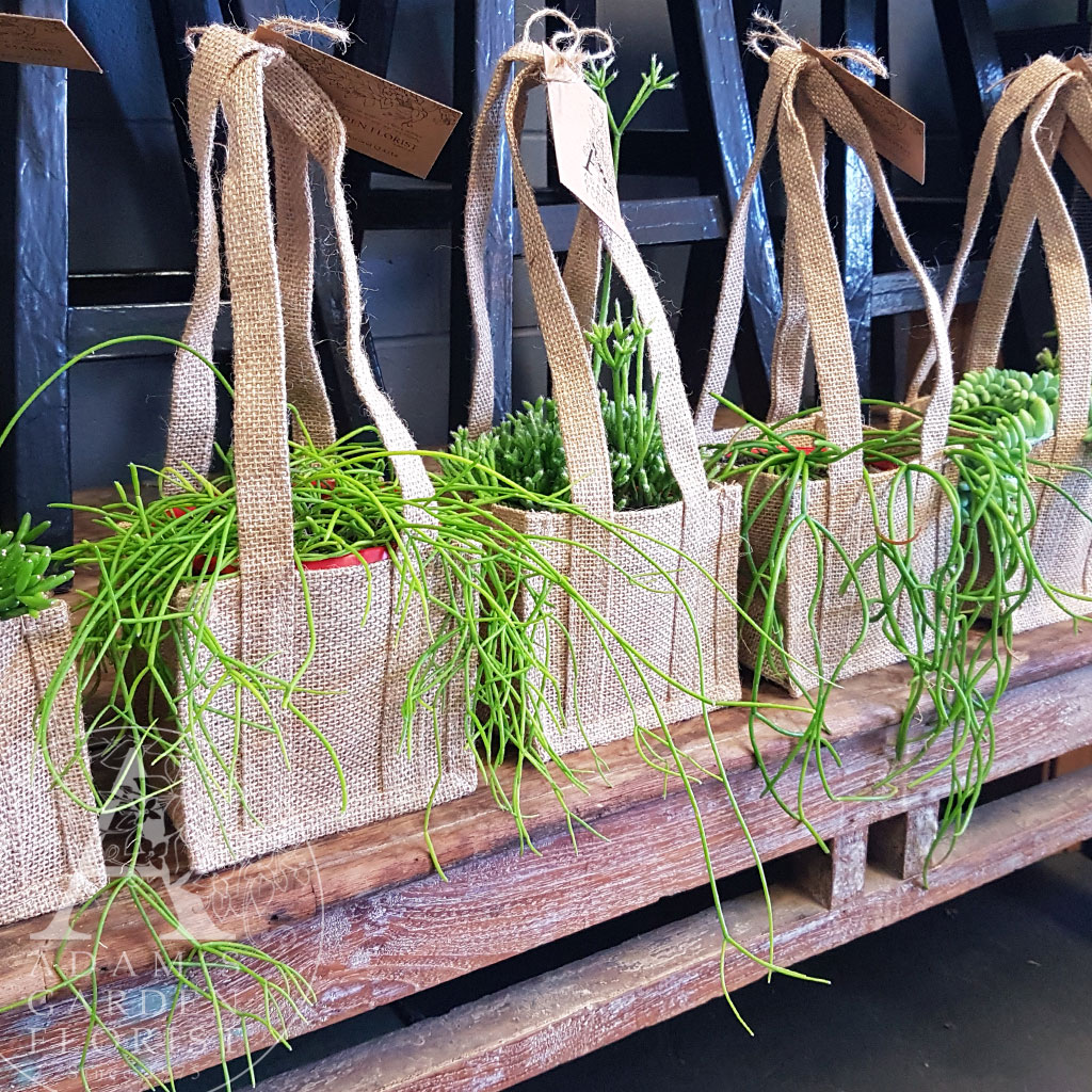 Rhipsalis succulent plant for delivery Parkwood