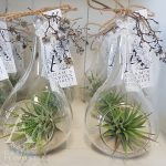 tillandsia air plant gift Gold Coast delivery