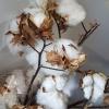 cotton stems Gold Coast florist
