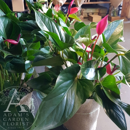 anthurium-plant pink for Gold Coast Delivery