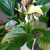 Anthurium Plant for Gold Coast Delivery from Adam's Garden Florist Parkwood